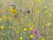 Gele kwikstaart in hooiland © Elwin van der Kolk