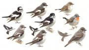 Vliegenvangers © Elwin van der Kolk