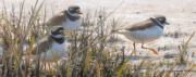 Bontbekplevieren op de kwelder © Elwin van der Kolk
