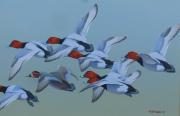 Een vlucht Tafeleenden © Frits-Jan Maas