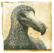 Dodo © Han van Hagen