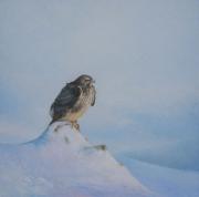 Buizerd in de sneeuw © Harry Meerveld