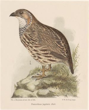 Patrijs (francolinus jugularis)