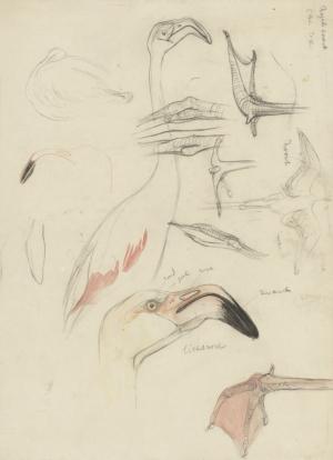Studies van een flamingo