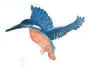 IJsvogel © Jos van der Meer