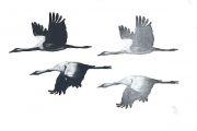 Vlucht kraanvogels © Jos van der Meer