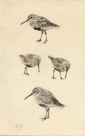 Bonte strandlopers, Calidris alpina, Peter Vos, 1977
