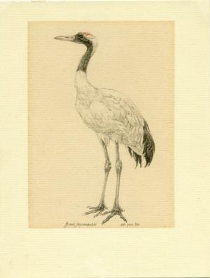 Japanse kraanvogel, Grus japonensis, Peter Vos, 1988