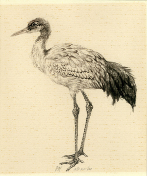Japanse kraanvogel, Grus japonensis, Peter Vos,1984