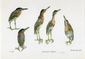 Kleine groene reiger, Butorides virescens, Peter Vos, 1999