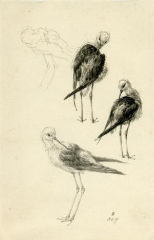 Steltkluten, Himantopus himantopus, Peter Vos, 1977