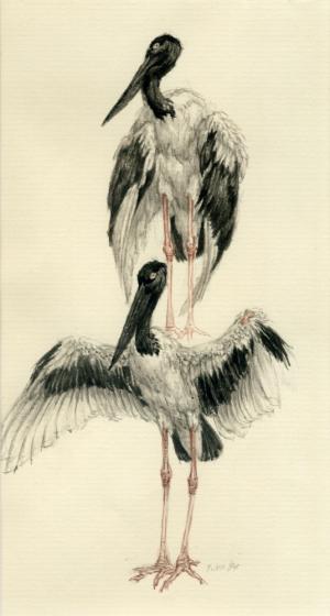 Zwartnek ooievaar, Ephippiorhynchus asiaticus, Peter Vos, 1984
