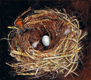 Nest zwarte roodstaart © Piet Eggen