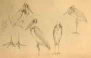 Studie van Javaanse maraboe © Piet Eggen