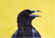 Zorro (zwarte kraai) © Robin d'Arcy Shillcock